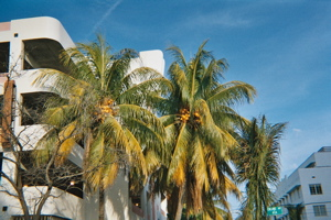 South Beach palm trees