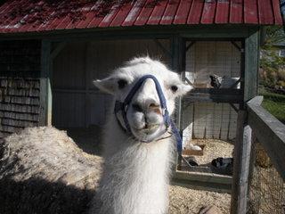 Llama with tude