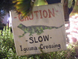 Grand Cayman iguana crossing