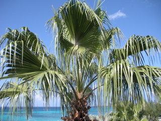 Grand Cayman palm tree