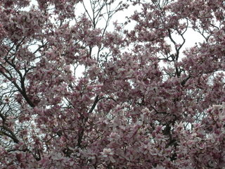 New York City flowering trees