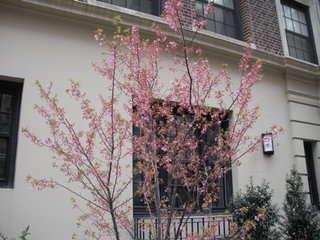 New York City flowering tree