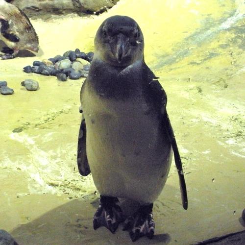 Agulhas, Jenkinsons Aquarium penguin